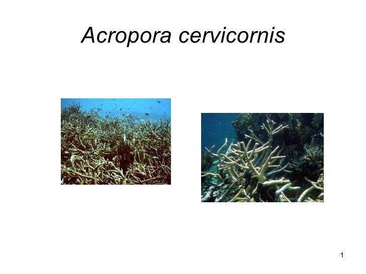 Acropora cervicornis