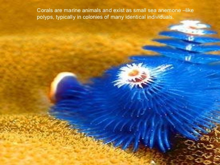 Corals are marine animals and exist as small sea anemone –like polyps, typically in colonies of many identical individuals.