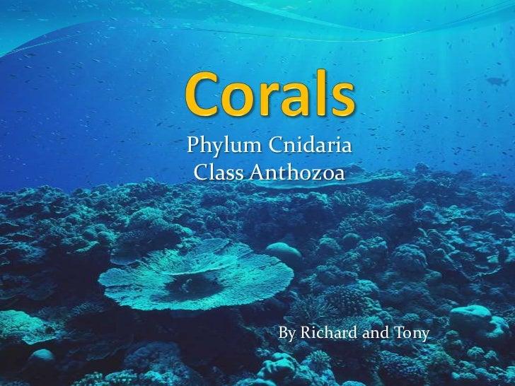 Phylum Cnidaria Class Anthozoa        By Richard and Tony