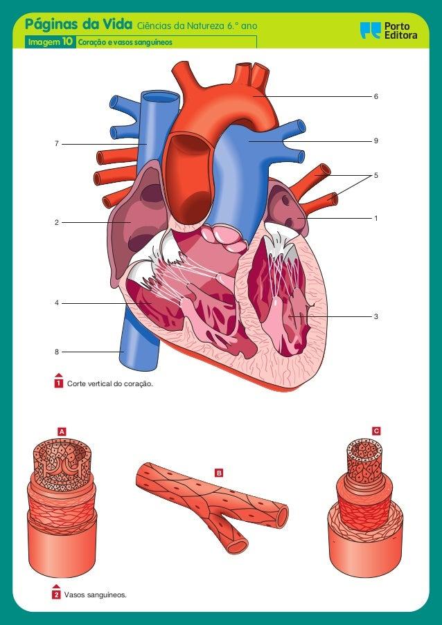 Páginas da Vida Ciências da Natureza 6.° ano Oo Imagem 10 Coração e vasos sanguíneos 5 1 6 3 2 4 8 7 9 Corte vertical do c...