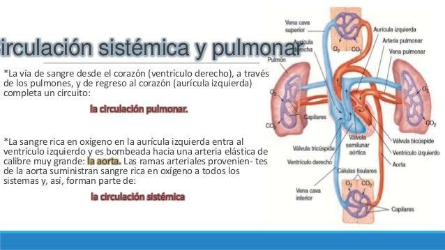 Circuito Pulmonar : Sangre circuito pulmonar circulacion sistemica