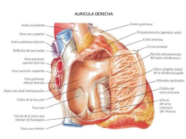 Corazón - configuración interna