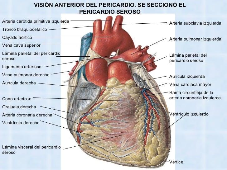Famoso Anatomía Arterial Pulmonar Colección - Anatomía de Las ...