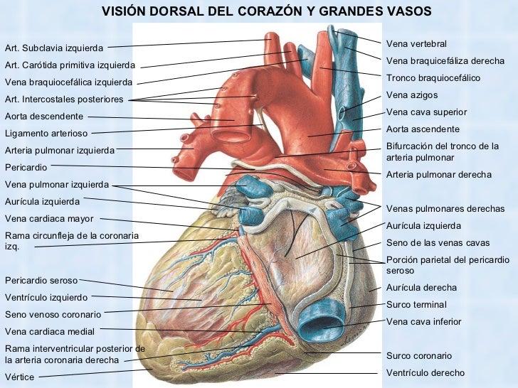 Excepcional Anatomía Venosa Pulmonar Composición - Anatomía de Las ...