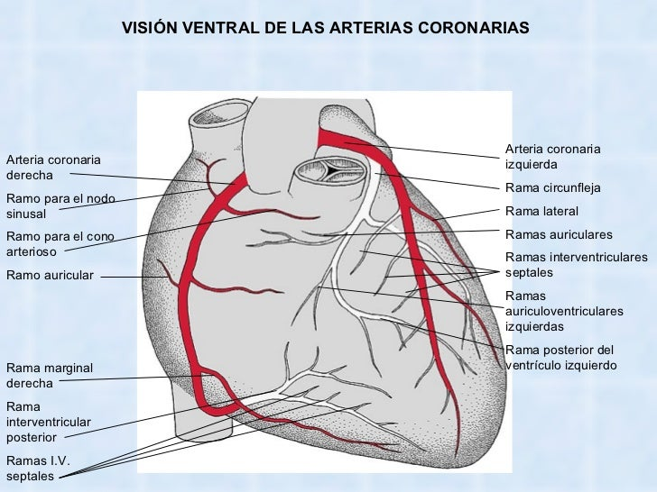 Bonito Arteria Coronaria Diagrama Anatomía Galería - Anatomía de Las ...