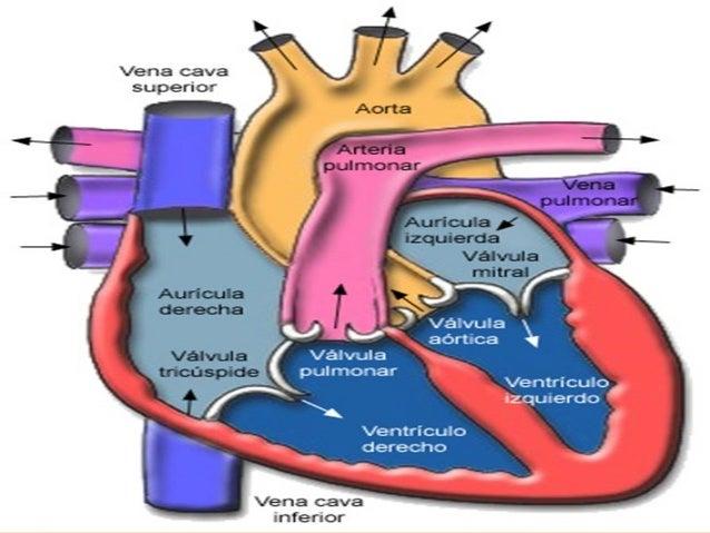 Corazón y sus partes