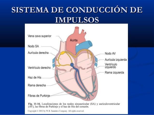 Fibrilación auricular Histologa-de-corazn-23-638