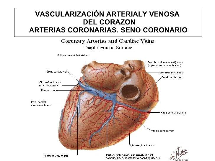 Bonito La Anatomía Del Seno Coronario Fotos - Anatomía de Las ...