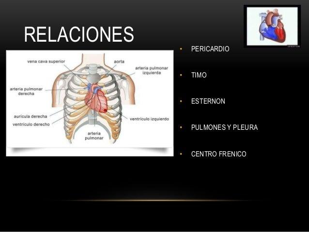 Corazon anatomia 2