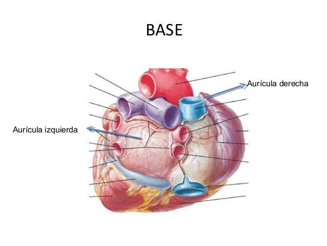 Anatomia del corazón