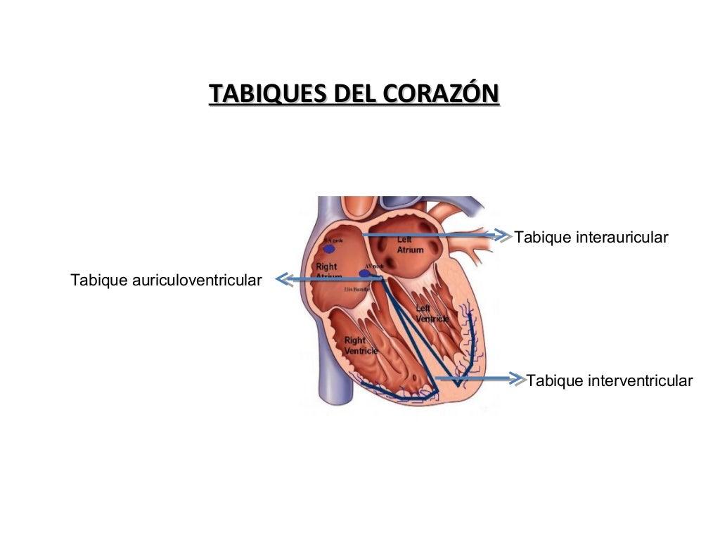 Vistoso Corazón Tabique Composición - Imágenes de Anatomía Humana ...