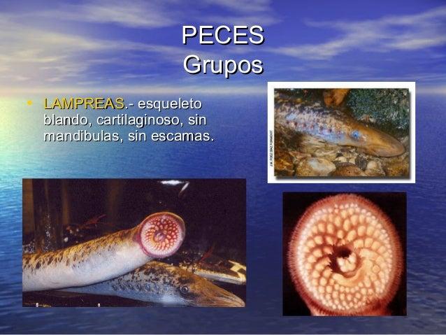 PECES Grupos • LAMPREAS.- esqueleto  blando, cartilaginoso, sin mandibulas, sin escamas.