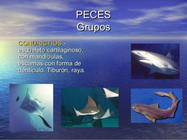 PECES Grupos • CONDRICTIOS.-  esqueleto cartilaginoso, con mandíbulas, escamas con forma de dentículo. Tiburón, raya.