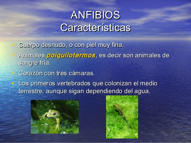 ANFIBIOS Características • Cuerpo desnudo, o con piel muy fina. • Animales poiquilotermos , es decir son animales de sangr...