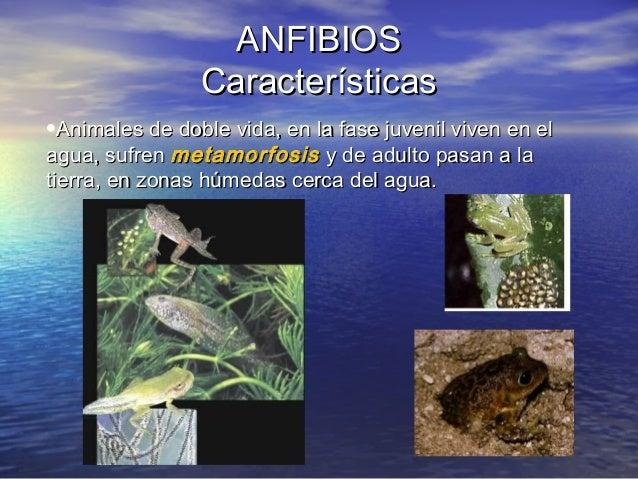 ANFIBIOS Características •Animales de doble vida, en la fase juvenil viven en el agua, sufren metamorfosis y de adulto pas...