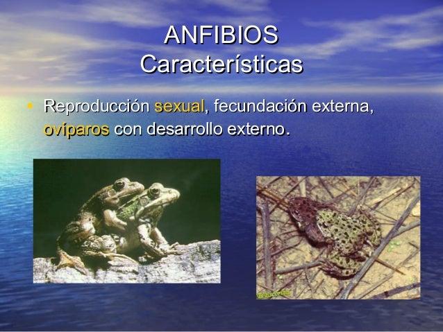 ANFIBIOS Características • Reproducción sexual, fecundación externa, ovíparos con desarrollo externo.