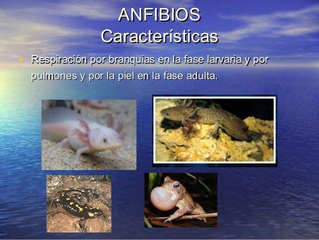 ANFIBIOS Características • Respiración por branquias en la fase larvaria y por pulmones y por la piel en la fase adulta.