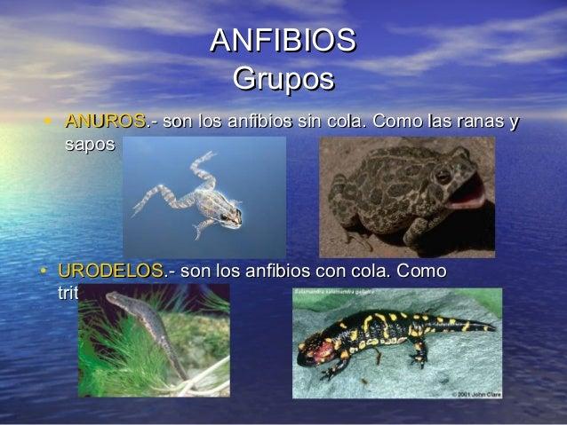 ANFIBIOS Grupos • ANUROS.- son los anfibios sin cola. Como las ranas y sapos  • URODELOS.- son los anfibios con cola. Como...