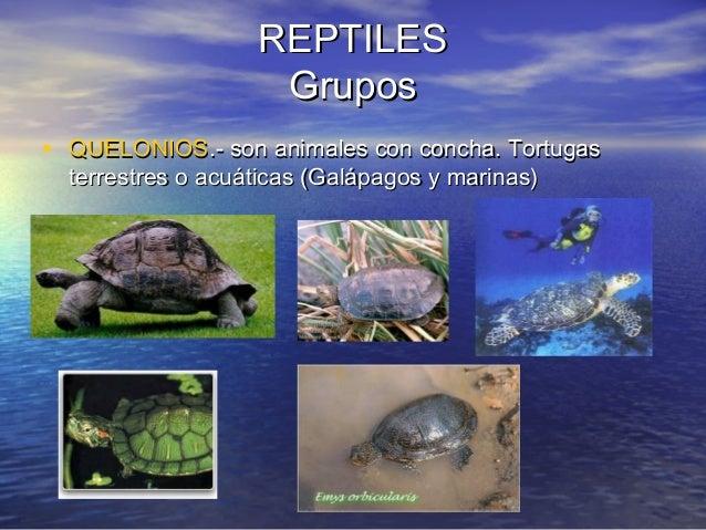 REPTILES Grupos • QUELONIOS.- son animales con concha. Tortugas terrestres o acuáticas (Galápagos y marinas)