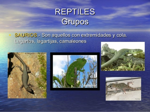 REPTILES Grupos • SAURIOS.- Son aquellos con extremidades y cola. Lagartos, lagartijas, camaleones