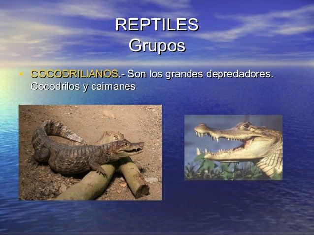 REPTILES Grupos • COCODRILIANOS.- Son los grandes depredadores. Cocodrilos y caimanes