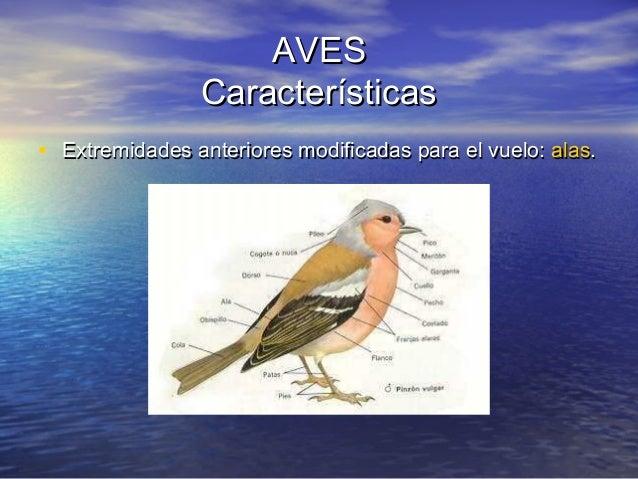AVES Características • Extremidades anteriores modificadas para el vuelo: alas.