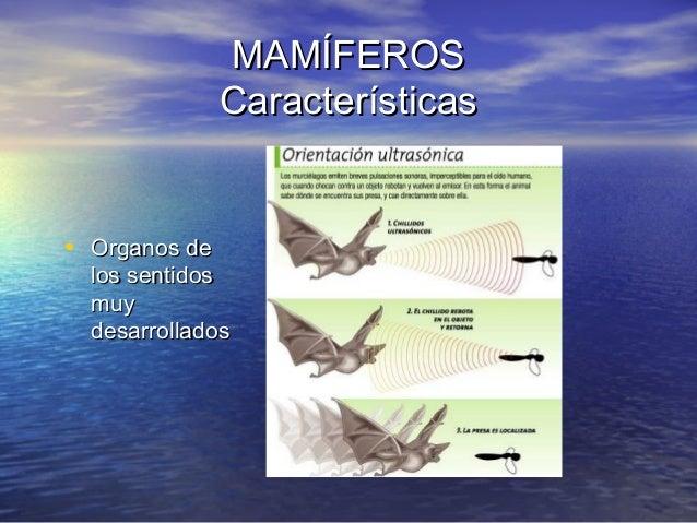 MAMÍFEROS Características  • Organos de  los sentidos muy desarrollados