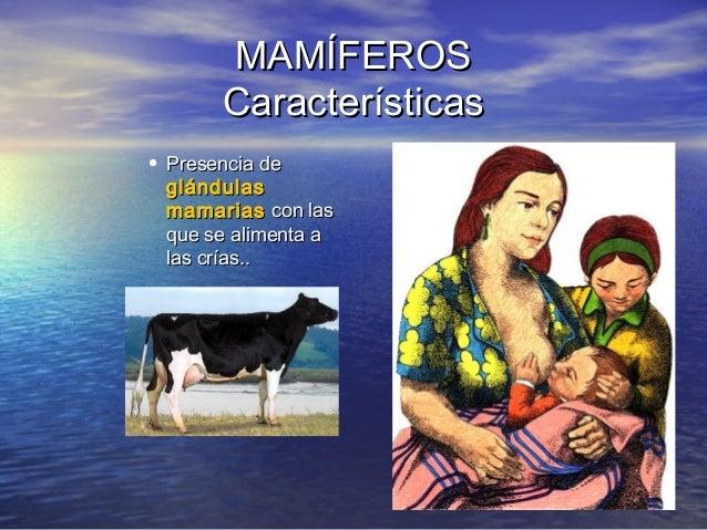 MAMÍFEROS Características • Presencia de glándulas mamarias con las que se alimenta a las crías..