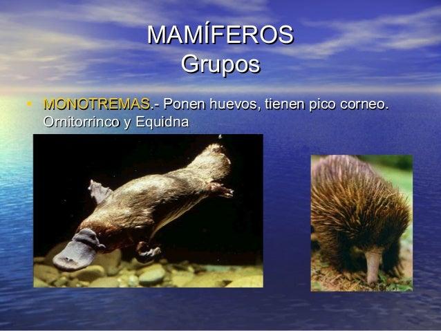MAMÍFEROS Grupos • MONOTREMAS.- Ponen huevos, tienen pico corneo. Ornitorrinco y Equidna