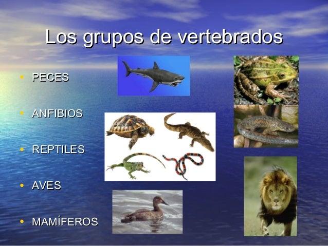 Los grupos de vertebrados • PECES • ANFIBIOS • REPTILES • AVES • MAMÍFEROS