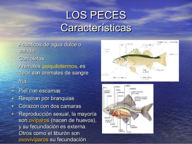 LOS PECES Características • Acuaticos de agua dulce o • •  salada Con aletas Animales poiquilotermos, es decir son animale...