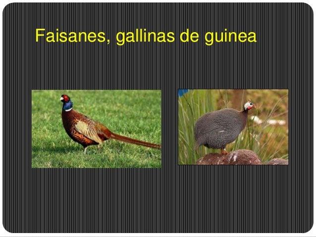 Faisanes, gallinas de guinea