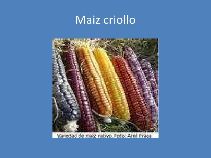 Maiz criollo