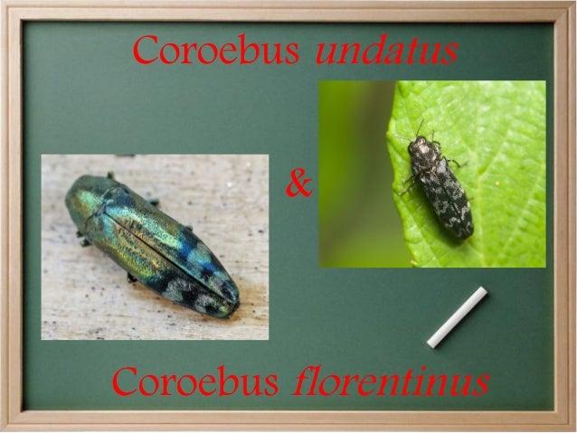 Coroebus undatus &  Coroebus florentinus
