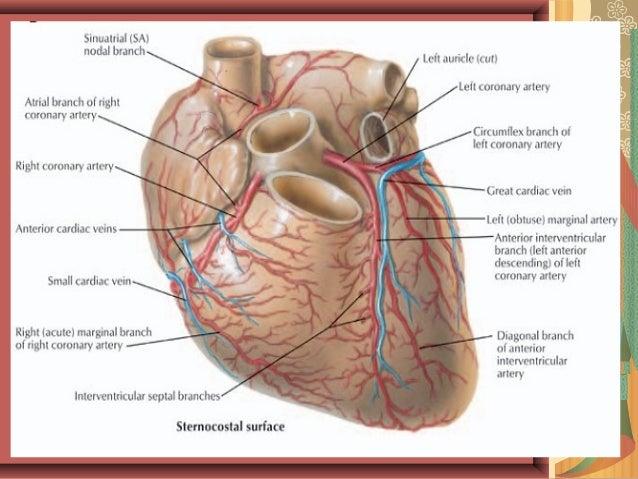Coronary Anatomy And Anomalies