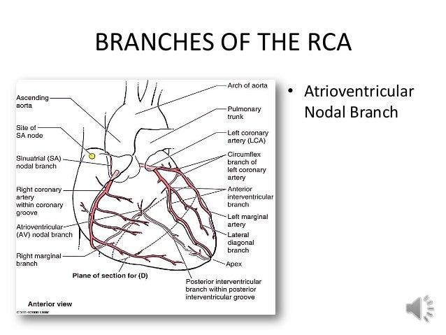 nodal artery gallery