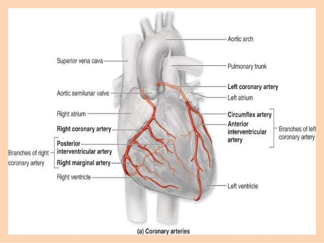 Right Coronary Artery Diagram - DIY Enthusiasts Wiring Diagrams •