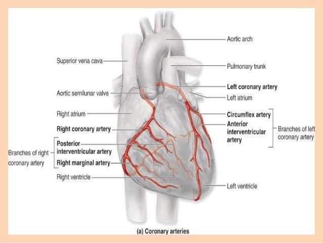 coronary circulation : coronary circulation diagram - findchart.co