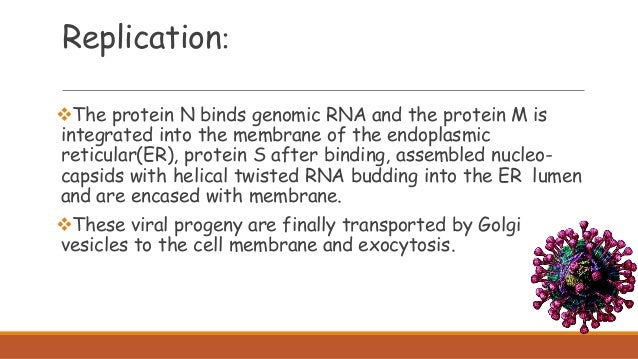 The protein N binds genomic RNA and the protein M is integrated into the membrane of the endoplasmic reticular(ER), prote...