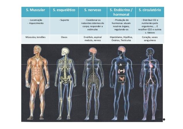 S. Muscular S. esquelético S. nervoso S. Endócrino / hormonal S. circulatório - Locomoção - Aquecimento - Suporte - Coorde...