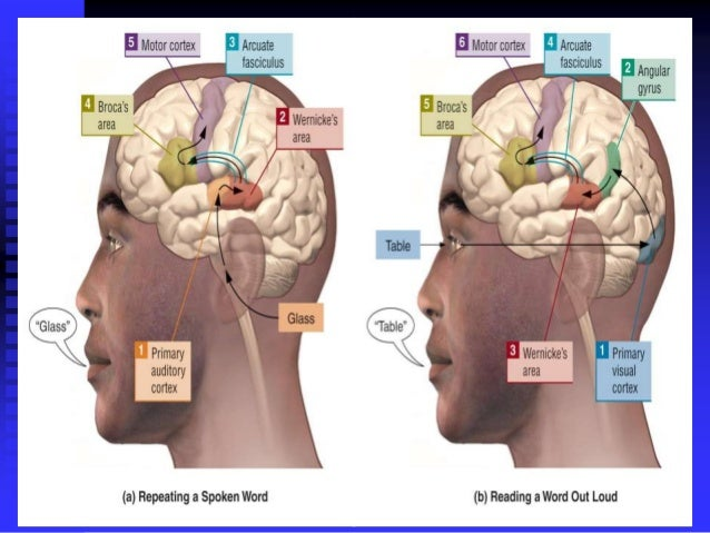 physiology-of-speech-25-638.jpg?cb=1369556234