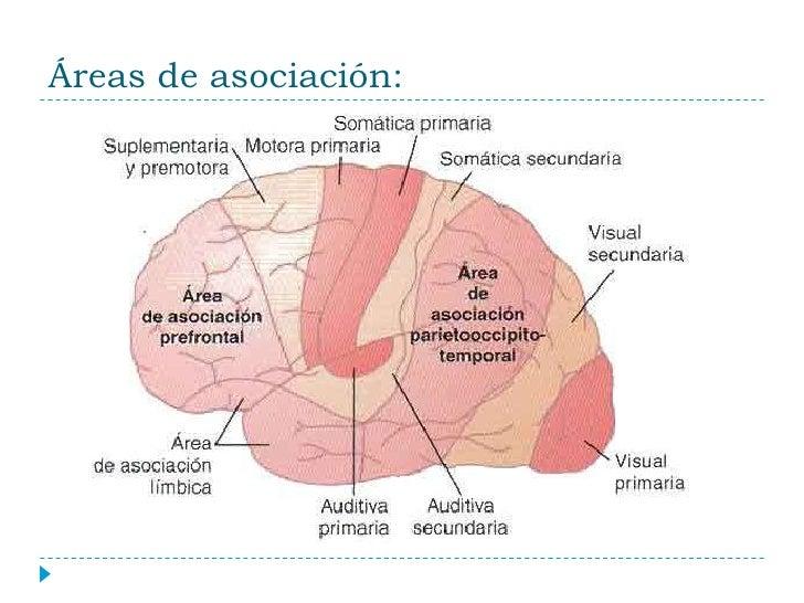 corteza cerebral funciones intelectuales del cerebro