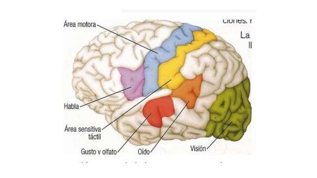 Control de la función motora por la corteza y el tronco del encefalo