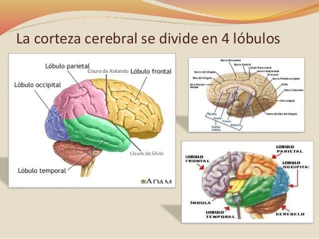 Corteza Cerebral Y 225 Reas De Brodmann
