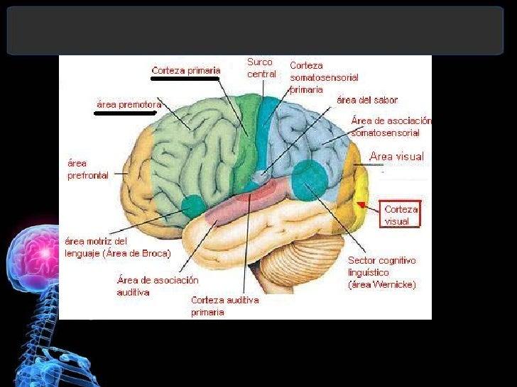 Corteza motora