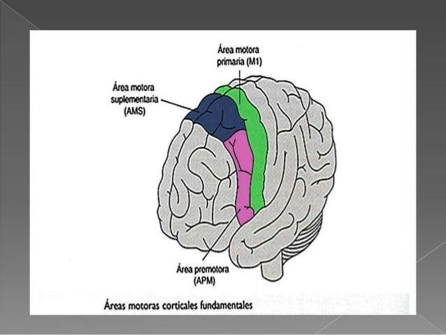 Corteza motora seminario (1)