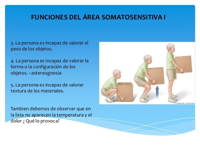 Corteza somatosensitiva Areas de la cocina y sus funciones