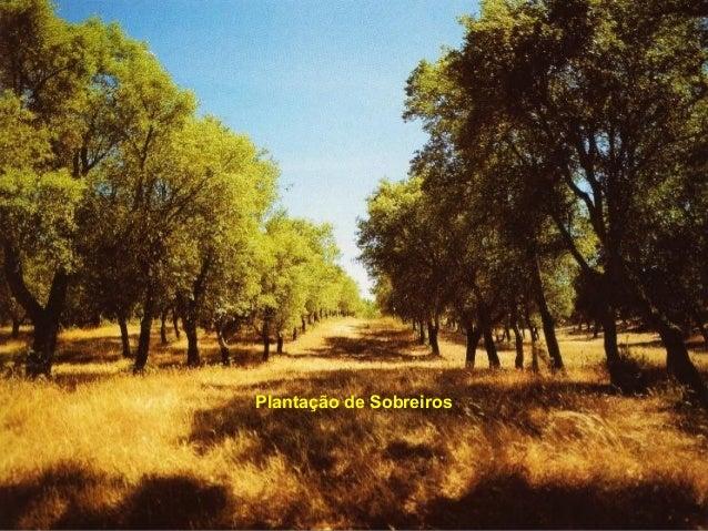 Plantação de Sobreiros