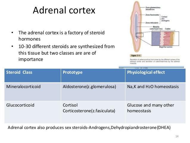 produces steroid hormones glucocorticoids and mineralocorticoids