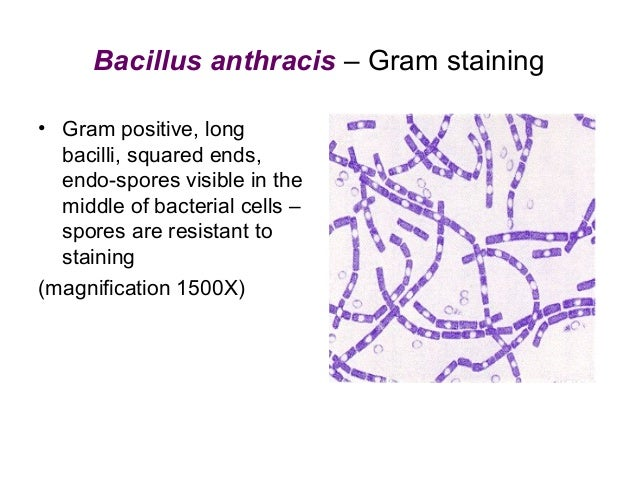 Bacillus anthracis (continued) • High pathogenicity • Disease = zoonosis (infection of animals AND humans) • Clinical form...